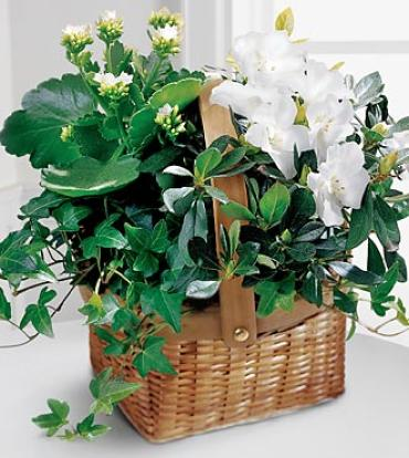Plant Basket Assortment with White blooms