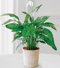 Peace Lily Spathyphyllum Plant LARGE