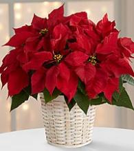 Red Poinsettias medium